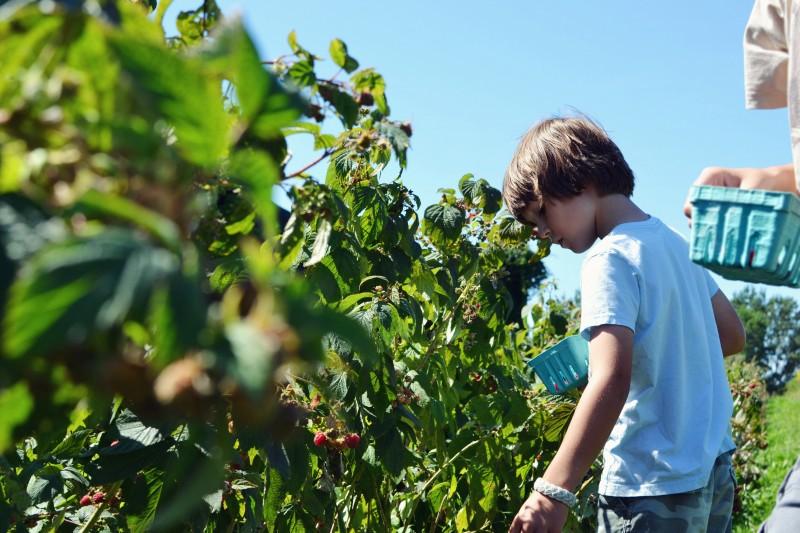 Augie raspberries